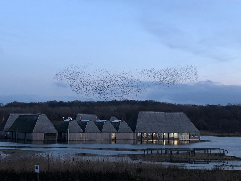 Starlings swoosh into Brockholes